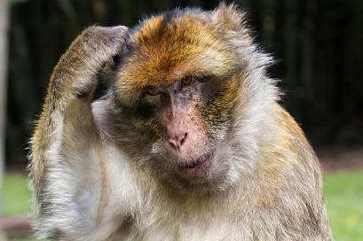 barbary-ape-431299_640